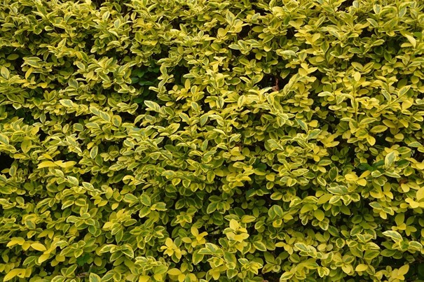 Bonte haagliguster – Ligustrum ovalifolium 'Aureum'
