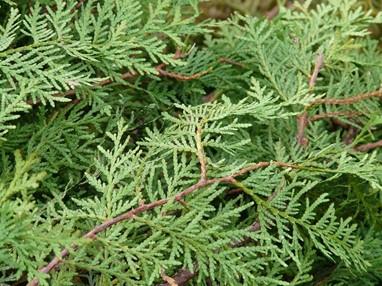 DeThuja (of levensboom) heeft fijne takjes en naalden die om een regelmatige snoeibeurt vragen